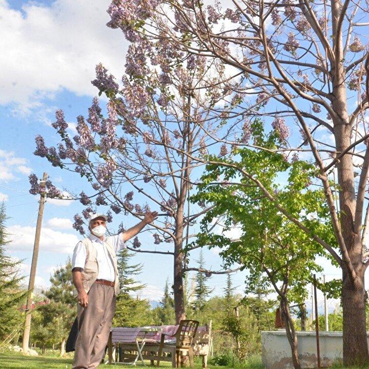 """Eşsiz bir güzelliğe sahip kral ağaçlarının gölgesinde dinlendiğini ve çiçeklerinin etrafa yaydığı güzel kokularla huzur bulduğunu ifade eden Serin, """"4 senede bir kendi isteğine göre çiçek açar. 4 senede de boyu 15 metreye yaklaştı. Gövdeden yukarı doğru giden kol tam 7 metre ve 1 senede büyüdü. Ben ömrümde 1 senede 7 metre büyüyen ağaç görmedim. Hem de koku saçan bir ağaç hiç görmedim. Böylece çok çabuk ve hızlı büyüyor. Etrafa çok güzel koku saçıyor. Çok tatlı kokuyor. Böyle güzel bir ağaç. Ben de çok seviyorum bu ağaçları. Altında çay kahve içmesi çok hoşuma gidiyor. Arkadaşlarımı da davet ediyorum. Buranın gölgesi çok farklı. Burası hiç güneş görmez. Tamamen gölge olur. Benim için bulunmaz bir ağaç"""" ifadelerine yer verdi."""