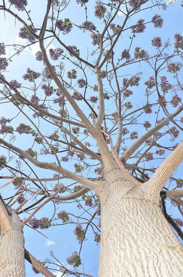 """Ağacı görenlerin, kendilerinin de yetiştirmek istediklerini hatırlatan Mustafa Serin, """"Bu ağacı görenler kendi bahçelerine de dikmek istiyorlar. Ancak kökünden fidan vermesi gerek. Kendi gövdesinden kesilen dalla yetişmiyor. Ben böyle bir ağaca hiç denk gelmedim. Çevremde böyle bir ağaç görmedim"""" değerlendirmesini yaptı."""