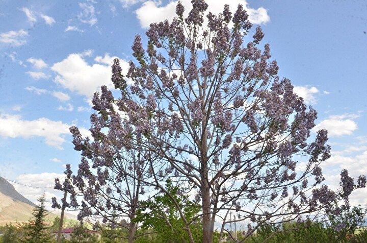 Anavatanı Çin olan ancak Türkiye'de pek bilinmeyen kral ağacının en önemli özelliği yılda 7-8 metre uzaması. Dünyanın en hızlı büyüyen ağacı olan kral ağacı, güzel görüntüsünün yanında birçok alanda kullanılıyor olması nedeniyle ekonomik getirisi yüksek bir ağaç türü. Çin'de kral saraylarında mobilyalarda ve bazı özel ahşap eşyalarda kullanıldığı için 'kral ağacı' olarak adlandırılan bu ağaç, Elbistan'a bağlı İğde Mahallesi'nde 65 yaşındaki Mustafa Serin isimli vatandaş tarafından bahçesinde yetiştiriliyor.Bir yakınının, 'Bu kral ağacı fidanı. Çok güzel bir ağaç' diyerek hediye ettiği 2 fidanı bahçesine diken Serin, 4 yıl sonra bölgede hiç görmediği güzellikteki 2 ağaca sahip olduğunu söyledi.