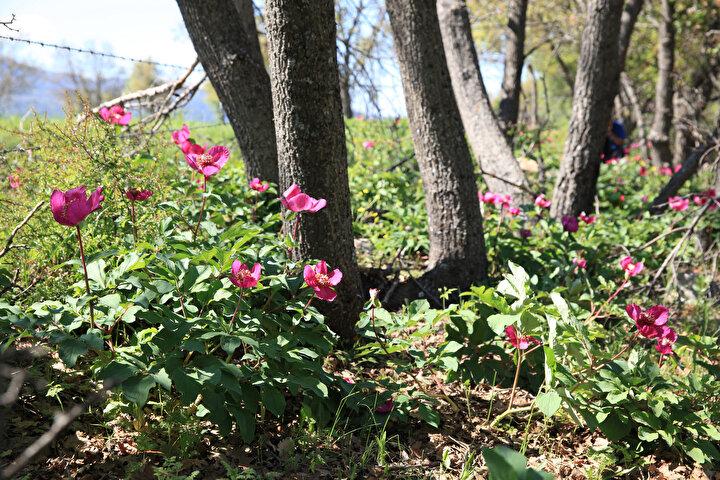 Ayı gülleri mayıs ayının başlarından itibaren sıcaklığa göre çıkan ömrü çok kısa çiçeklerdir. Yaklaşık 10 günlük yaşama süresi vardır. Türkiye'de 6 çeşidi bulunmaktadır. En önemlileri burada Toros Dağlarında olduğu için 1100 metrede çıkan çiçeklerdir. Koparılması yasak olan bir bitki, ama yılda 1 defa etkinlik yaparak, katılanlara çiçeği tanıtıyoruz. Koruma altında ve koparılması yasak olduğu için yerini pek söylemek istemiyoruz. Koparıldığında veya zarar verildiğinde 60 bin 163 lira para cezası uygulanıyor.