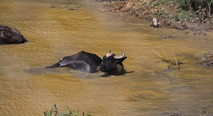 Görüntülerde manda sürüsün adeta suyun üzerine süzüldüğü görülüyor.
