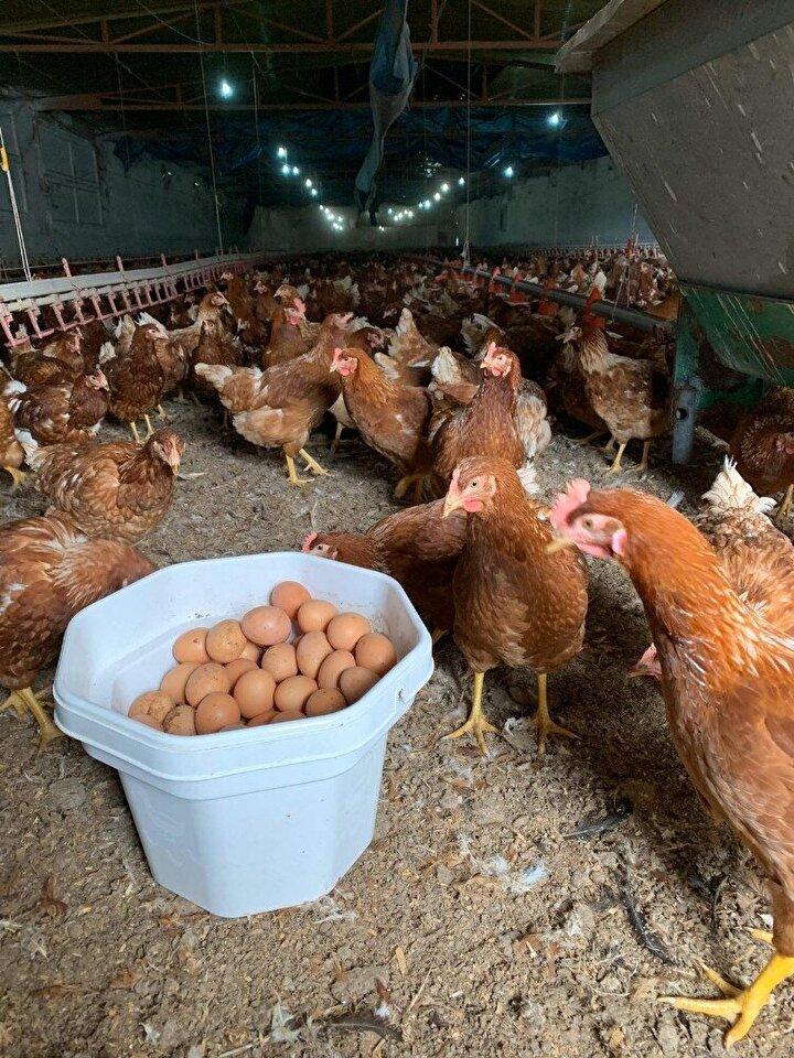 Kuluçka firmalarından gelen civcivlere 112 güne kadar bakıyoruz. 112 günlük tavuklara yarka deniyor. Bir de 22 haftalık tavuklar yetiştiriyoruz. Bu tavuklar yumurta vermeye hazırdır. Şu an yerli 'Ataks' ve Alman menşeli 'Lohman Brown' isminde iki ırkımız var. Kanatlı sektörüyle hobi veya ticari olarak ilgilenen iki kesim var. Hobi olarak ilgilenenler kendisinin ve eşinin dostunun yumurta ihyacı için bahçesinde 10-15 tavuk besliyor. Ticari olarak yapmak isteyenler ise iyi bir planlama çalışması yapmalı. Bu işe girmek isteyenlerin bir canlı ile uğraştığının bilincinde olması gerekiyor. Gıda sektörü kazançlı bir sektör. Doğallık, eskiye dönüş hacmi yükseltiyor. İyi bir yatırım planlaması yapılmalı.