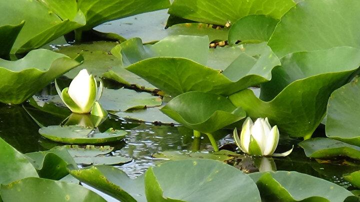 Sapı yaklaşık olarak bir metreyi bulan nilüfer çiçeği suyun dibinde çamurda kökleniyor. Nilüfer çiçeklerinin tohumunun ise Amazon ormanlarından göçmen kuşlar ile taşındığı ve bu sayede oluştuğu düşünülüyor.