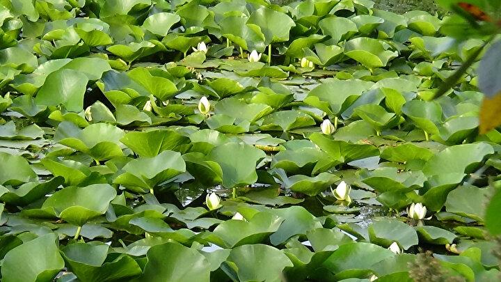 KOPARMANIN CEZASI 73 BİN TLDoğa Koruma ve Milli Parklar Çanakkale Şube Müdürü Ozan Hacıalioğlu, göldeki nilüfer çiçeklerinin koruma altında olduğunu, koparanlara ise, biyolojik çeşitliliği tahrip etmek ve zarar vermekten 73 bin TL ceza kesildiğini belirtti.