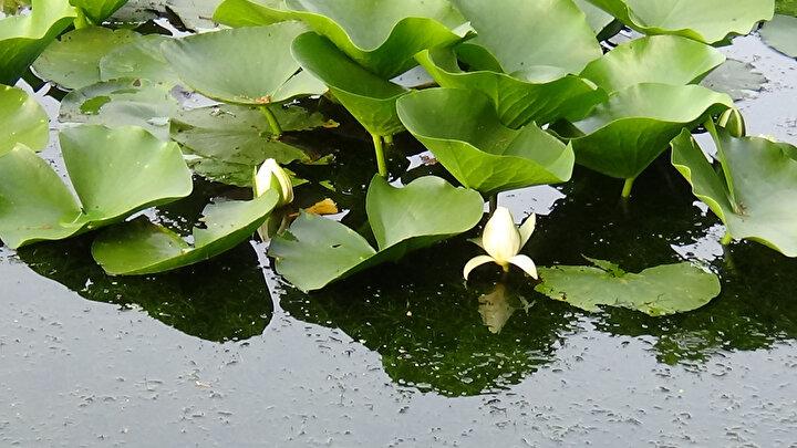 Göle gelenlerin sayısında son günlerde artış yaşandı. Nilüfer çiçeklerini görmek için Biga ilçesinden gelen Sebahat Dal Aydın, Çok güzel, herkese gelip görmesini tavsiye ederim dedi.