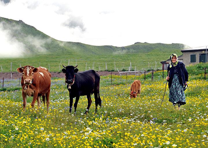 Kalabalık şehirlerden uzaklaşarak daha sakin olan yaylalara çıkanlar, hayvanlarını otlatıyor, doğal ürünlerle besleniyor.