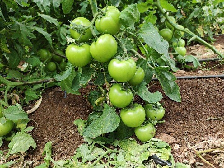 Yetiştirilen domateslerin 700 gram ile 1 kilo arasında olduğunu söyleyen Kılınç, yılda ortalama 100 ton domates aldığını ve bunların bölgede ilk olmasından dolayı iç piyasada satıldığını söyledi.