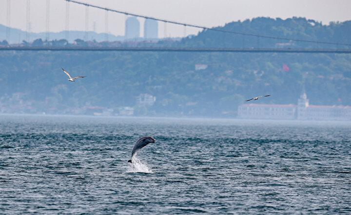 İlkbaharda balıkların Marmara Denizinden Karadenize doğru göç etmeleriyle birlikte İstanbul Boğazında yunusların görünülürlüğü arttı.