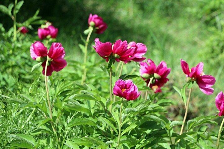 """Cehrilik bölgesindeki doğa harikasını fotoğraflamak için gelen gazeteci Oğuz Bahçeli ise """"Şu an cehrilik bölgesindeyiz, Yozgat'a has lalenin yetiştiği bölgedeyiz. Burası yılın belli dönemlerinde açan güzel Cehrilik lalesi çiçekleriyle meşhur. Yozgat'ta çok uzun bir süre yaz dönemi olmuyor olduğu dönemlerde de bu bölge Yozgat'ın kendine has bitkilerinden oluşuyor ve cennet gibi bir görüntü ortaya çıkıyor: Yozgat halkı bu bölgeyi çok fazla bilmiyor. Buranın tanıtılması için biz de elimizden geldiğince çalışıyoruz"""" ifadelerine yer verdi."""