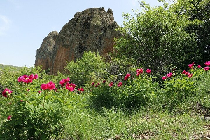 Yozgat'ın 8 kilometre kuzeyinde bulunan ve yetiştiği bölgenin adını alan Cehrilik lalesi, havaların ısınmasıyla doğayı renklendirdi. Arılar için de polen ve nektar kaynağı olan lale, sadece Mayıs ayında açıyor ve 15-20 gün sonra soluyor.