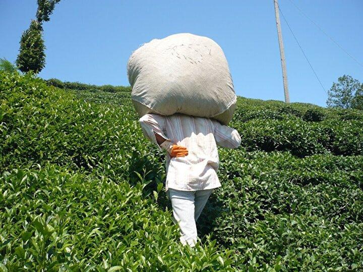 Doğu Karadeniz Bölgesi'nde Rize, Artvin, Trabzon ve Giresun illerinde yaklaşık 830 bin dekar alanda 1 milyon üretici aile tarafından yapılan yaş çay tarımında yıllık 1 milyon 100 bin ile 1 milyon 300 bin ton arasında değişen miktarda ürün elde ediliyor. Üretilen yaş çayın 151i özel sektör, 46sı Çaykura ait fabrikalarda işlenerek, yılda ortalama 230 ile 250 bin ton arasında kuru çay elde ediliyor. Dünya Çay Komitesinin hazırladığı Dünya Çay Raporu sonuçlarına göre, yılda kişi başı en çok çay tüketen ülkeler sıralamasında 3,5 kilogram ile Türkiye ilk sırada yer alıyor. Dünya çay üretiminde ise 2 milyon 270 bin ton ile Çin birinci, 1 milyon 210 bin ton ile Hindistan ikinci, 475 bin ton ile Kenya üçüncü, 329 bin ton ile Sri Lanka dördüncü, 250 bin ton ile Türkiye beşinci sırada yer alıyor.