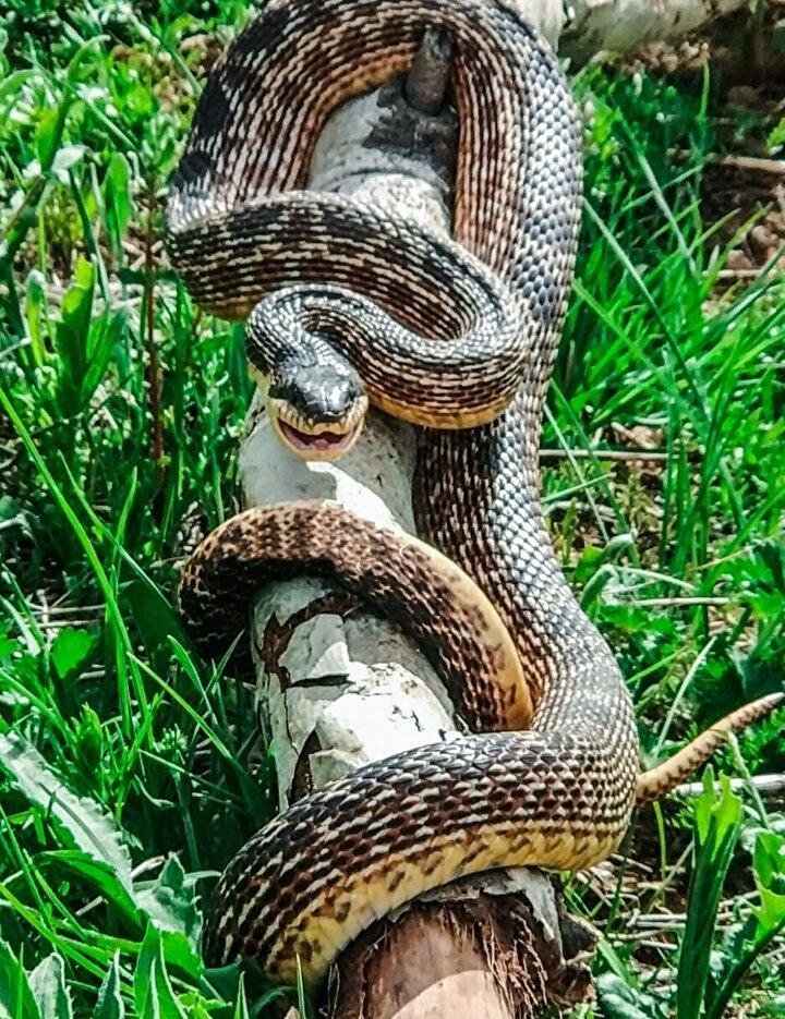 Adaklı ilçesine bağlı Karer bölgesine tarlaya çalışmaya gidenler, yaklaşık 3 metre olduğunu değerlendirdikleri bir yılanla karşılaştı.