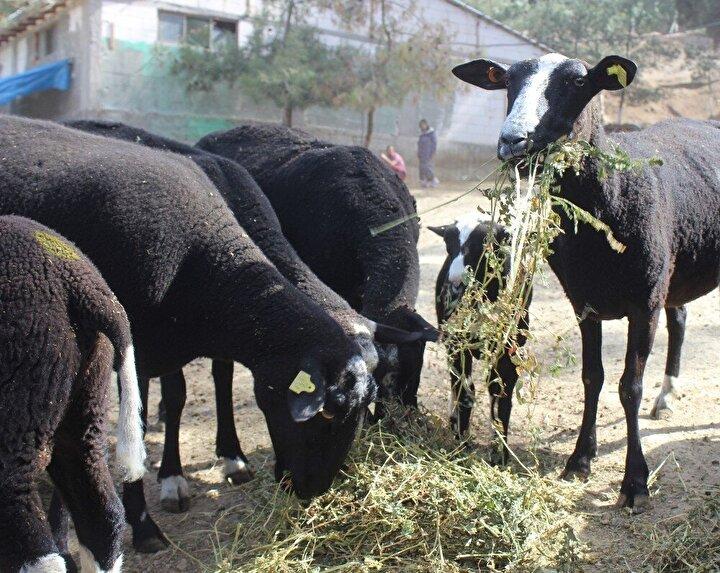 Zwartbles koyunu verimliliğiyle göz kamaştırıyor. Bu koyun et ve süt olarak çok verimli ayrıca çok sayıda doğurma özelliği var tek seferde üçüz doğum yapabiliyor. Bu koyunlar 8 ayda bir üçüz yavruluyor. Bu da alan kişinin çok büyük kazanç elde etmesini sağlıyor. Bu koyunların yavruları 100 günde 45 kilo ağırlığa ulaşıyor. Gelişimi çabuk olduğu için sahip olan kişiyi kısa sürede zengin ediyor. Ayrıca süt verimi de çok yüksek 8 ay boyunca süt sağımı yapılabiliyor. 100 koyun 2 yıl sonunda 700 adet yavru doğumu yapıyor. Bu da üreticilerin bu koyuna olan ilgisini çekiyor. Talep o kadar çok ki 5 ay sonraya kuzu siparişi veriyoruz.