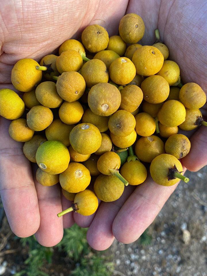 Karaca, Antalyada ise Manavgat, Serik, Aksu, Kumluca ve Finike bölgelerinde narenciye bahçelerinde meyve dökülmeleri yaşandığını kaydetti.