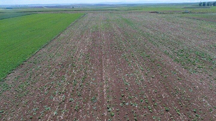 Eskişehir'de don olayı tarımsal üretime büyük ölçüde zarar verdi. Umutla ürünlerin yetişmesini bekleyen çiftçi, hasata sayılı günler kala hüsrana uğradı.