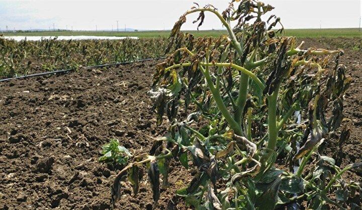 Son olarak pancar, domates ve biber üreten çiftçiler için çok geç olduğunu aktaran Öltörü şunları söyledi;