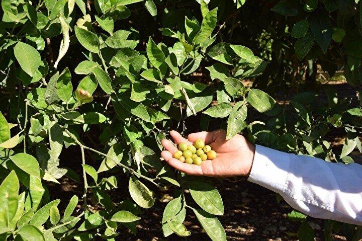 """Ziraat Mühendisi Ahmet Dumanoğlu da, """"16 – 20 Mayıs tarihleri arasında Türkiye'de çok anormal bir sıcak oldu. Çöl sıcakları denen bir sıcak oldu. Bu sıcakların ani şok etkisi ile narenciye bahçelerimizdeki meyvelerde yüzde 60'a kadar oranda meyve dökümü oldu. Bu şu demek oluyor ki, çok değerli olan Finike portakalımızın raflarda çok az miktarda bulunacağını gösteriyor. TARSİM özellikle bunu kabul etmiyormuş. Ben diyorum ki bu da bir doğal afettir. Bununla ilgilenmelerini istiyoruz. Çünkü narenciye ve zeytin üreticilerimiz ciddi anlamda bir mağduriyet yaşamaktadırlar"""" ifadelerinde bulundu."""