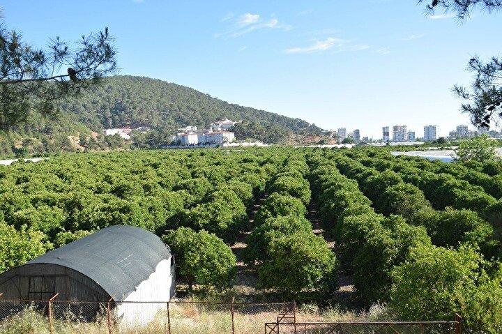 """Üretici Selehattin Ergen ise, """"16 – 20 Mayısta bölgemizde ve ilçemizde yaşanan aşırı sıcaktan dolayı ürünlerimiz kalmadı denecek kadar az. Portakal ağaçlarımızdaki meyvelerimiz döküldü. Bu yıl Finike Portakalı yok denecek kadar az. Çok mağdur durumdayız"""" dedi."""