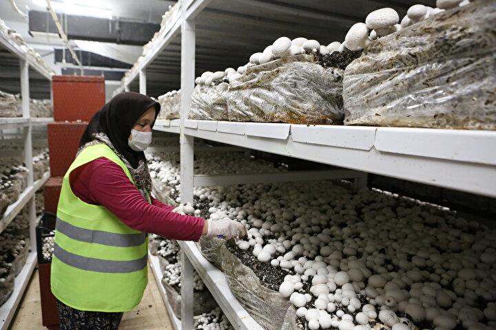Boluda tarımsal çeşitliliği arttırmak ve çiftçilere yeni kazanç kapıları açmak amacıyla Bolu Belediyesi ve Bolu Abant İzzet Baysal Üniversitesi arasında Şubat ayında kültür mantarı üretimi için protokol imzalandı.