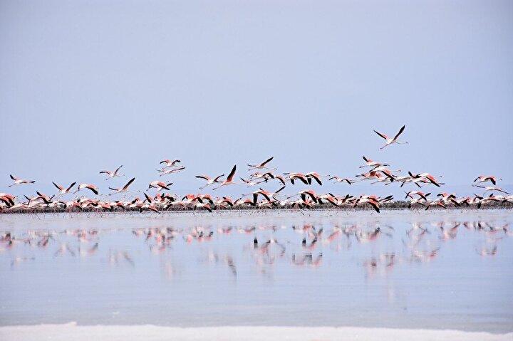 """Aksaray'ın Eskil ilçesinde yaşayan Mustafa Sanlav (58), yüzlerce flamingonun telef olduğunun araştırılması gerektiğini belirterek, """"Tuz Gölü dendiği zaman aklımıza allı turnalar, yani flamingolar gelir."""