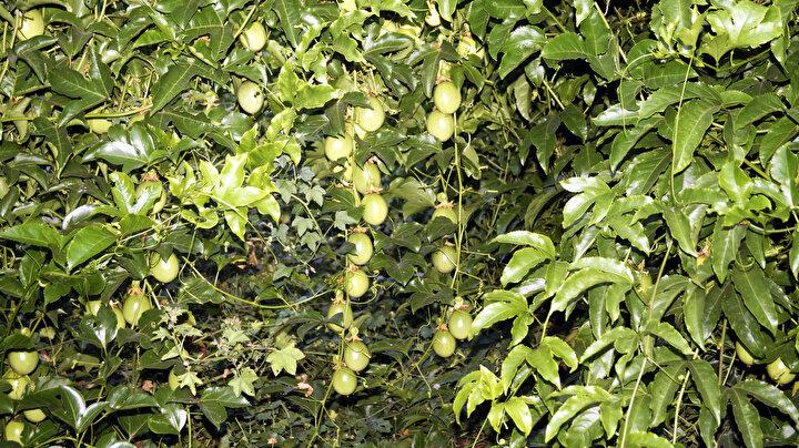 SARMAŞIK GİBİ  Çarkıfelek meyvesinin sarmaşık gibi olduğunu, bulunduğu alanı kısa sürede sarmaya başladığını anlatan Apaydın, Fidesini diktiğiniz zaman aylar içerisinde kolları bahçeye sarmaya başlıyor. Telleri sara sara çevresine yayılıyor. Herhangi uygulama yapmadan sadece gübresini verdiğinizde toprağını da sevdiyse inanılmaz şekilde büyüyor. Yeşilden mor renge dönüşüyor. Olgunlaştığında ben olgunlaştım deyip düşüyor. Mükemmel bir lezzeti var dedi.