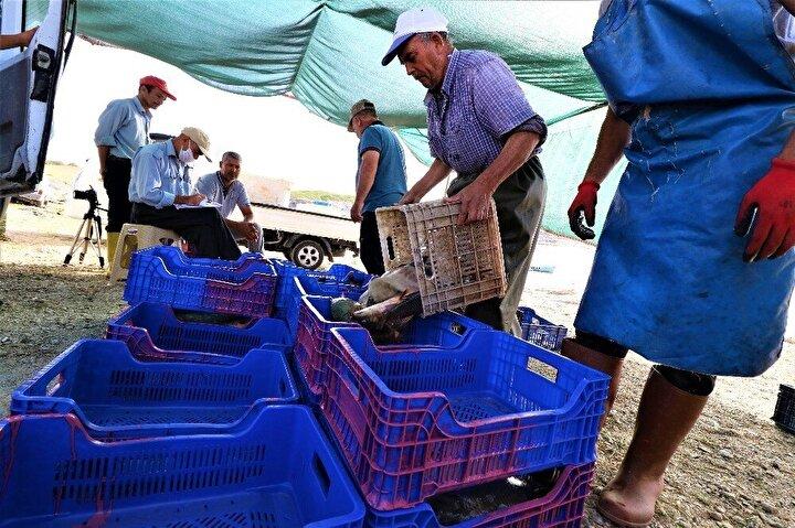 Gece boyu tuttukları balıkları teknelerle sahile getiren balıkçılar, burada kurulan kantarda balıklarını tarttıktan sonra Türkiye'nin çeşitli illerinden balık almaya gelen tüccarlara satışını yaptı. Denizi olmayan Manisa'da tutulan balıklar Türkiye'nin çeşitli illerine ve yurt dışında alıcı buluyor.