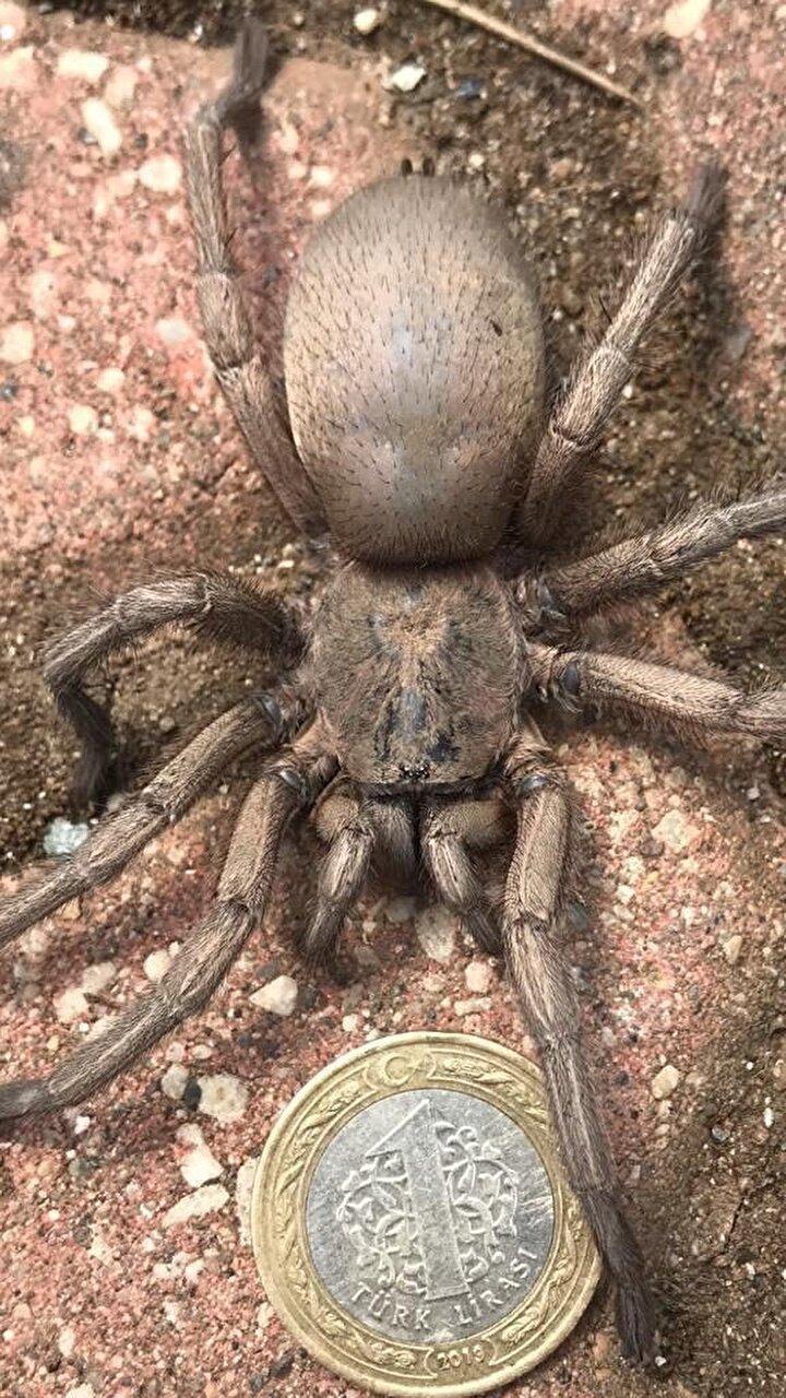 Boyutunu göstermek adına, yanına konulan çakmak ve kavanoz kapağı ile birlikte cep telefonuyla fotoğraflanan örümcek, daha sonra doğal yaşam alanına bırakıldı.