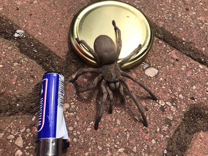 Tabiatın asıl sahipleri olan yabani hayvanlar bazen korkutucu olabiliyor. Elimizde gördüğünüz bu örümcek de onlardan biri. Sık rastlanmayan bu örümcekler, korkan vatandaşlar tarafından öldürülüyor. Halk arasında Böğ ve Tarantula diye adlandırılan büyük örümceklerden olan bu canlımız, bilinenin aksine biz insanları rahatsız eden küçük eklem bacaklılarla beslenen faydalı bir böcektir.