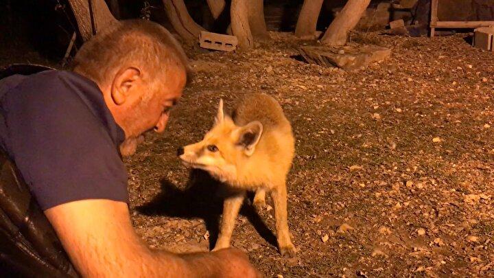 Aşar, akşam saatlerinde gelen tilkiye Akşam Güneşi adını verdi.