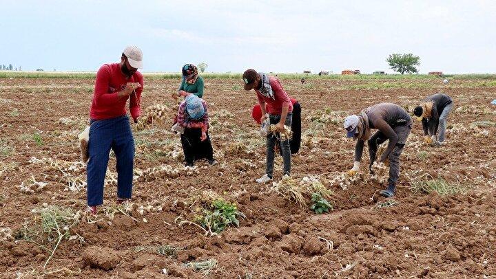 """Sarımsak üretiminde Aksaray'ın Türkiye üçüncüsü olduğuna değinen Tarım ve Orman Müdürü Bülent Saklav, """"Aksaray'ın sarımsak üretimi ile Türkiye'de 3. sırada. 15 bin ton alanda yaklaşık 20 bin ton sarımsak üretimi yapıyoruz. İnşallah pandemi sürecinde de tarımsal üretimimiz devam ediyor. Sarımsak hasatlarımız sorunsuz bir şekilde devam ediyor. rekolte de geçen seneye göre yüzde 30 artış var. İnşallah bu şekilde devam edecek"""" diye konuştu."""