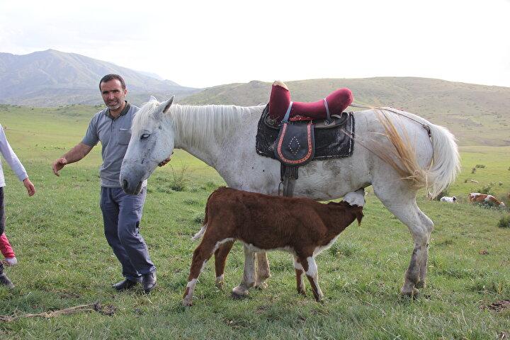 Sivasın Zara ilçesinde bir danayı emziren at, görenleri şaşırtıyor.