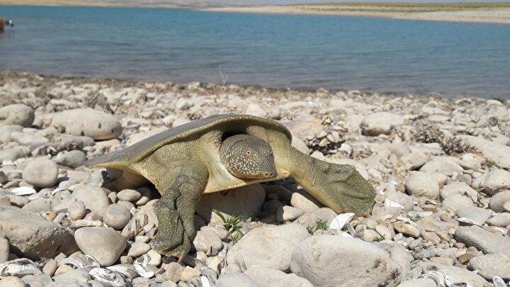 Yıldız, yaptığı incelemede, kaplumbağanın Trionychidae familyasından olan ve yeryüzünde sadece Fırat ve Dicle nehirleri bölgesinde yaşayan Fırat kaplumbağası olduğunu belirledi.