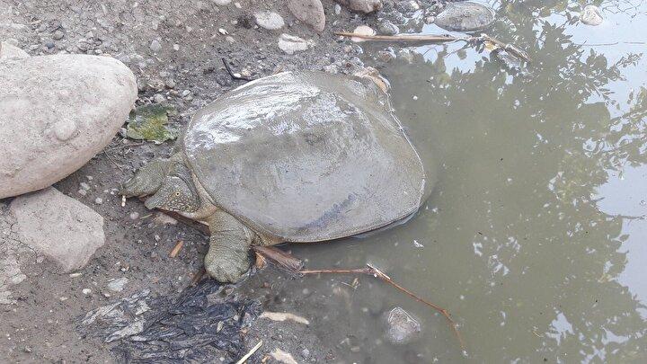Yıldız, yaptığı açıklamada, yakalanan kaplumbağanın, neslinin tükenme tehlikesi altında olduğunu söyledi. Yıldız, şöyle devam etti: