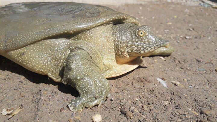 Adıyaman Samsata bağlı Gölpınar köyünde Atatürk Barajı kıyısında avlanan balıkçılar, ağlarına farklı bir kaplumbağanın takıldığını gördü.