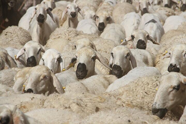 Sonraki yıllarda mesleğe ilginin de artmasıyla bilimsel araştırmaya giriştiğini belirten Çalıksoy, Sürüden daha iyi verim alabilmek için Sivas Kangal bölgesinden damızlık koyun ve koç getirdim. Kangal bölgesinden getirdiğim koyunlarda ikizlik oranı fazlaydı. Bu azimle bugünlere geldik. Şu anda işletmemizde 800 koyun ve 600 kuzumuz var. Önümüzdeki sezona da 800 koyundan 900 kuzu bekliyoruz. Böyle bir duruma geldik. diye konuştu.