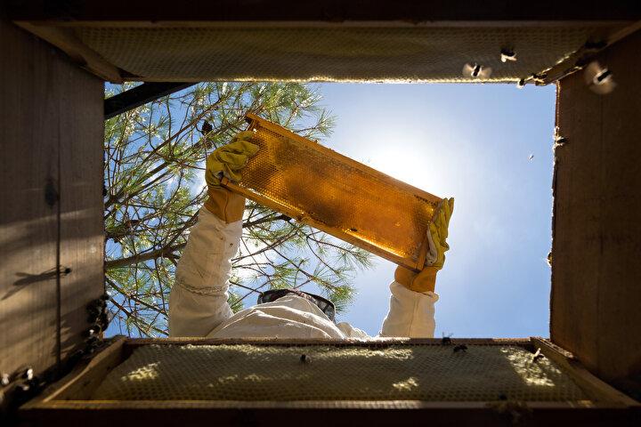 İlçede 6 yıl önce kayınpederinin, doğum yaptığında kendisine hediye ettiği bir kovan arı ile başladığı arıcılıkta, kovan sayısını 50'ye çıkartan Tuğba Ay (36), ev ekonomisine katkıda bulunuyor.