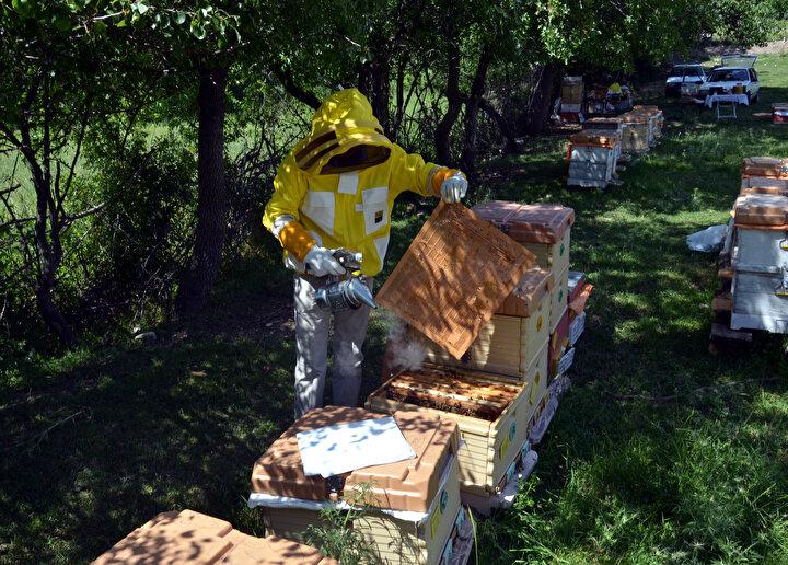 Propolis üretimini 6 yıldır yaptıklarının fakat üretim sürecinin çok zor olduğunun altını çizen Çelebi, şunları kaydetti:Değeri yaşadığımız koronavirüsle daha da fazla anlaşılan, bağışıklık sistemini güçlendiren bu ürün, son zamanlarda daha çok tercih edilmeye başlandı. Propolisin toplanması ve arılardan almamız gerçekten zor bir süreç. Bu ürünü biz kovanlara koyduğumuz tuzaklardan alıyoruz. Arı kovana girerken mikropları kırmak için ayaklarını tuzaklara sürtüyor. Bu ürünü o şekilde alıyoruz. Aldığımız propolisi önce buzdolabını koyup donduruyoruz, ardından işlemlerden geçiriyoruz.