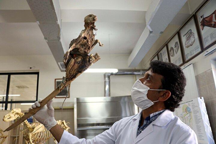 Çeliker, bu sırada odun parçasına yapışmış hayvan iskeleti buldu. Bir süre şaşkınlık yaşayan Çeliker, iskeleti odun parçasından ayırmadan bodrumdan çıkarıp, bugün ERÜ Veteriner Fakültesine götürdü.