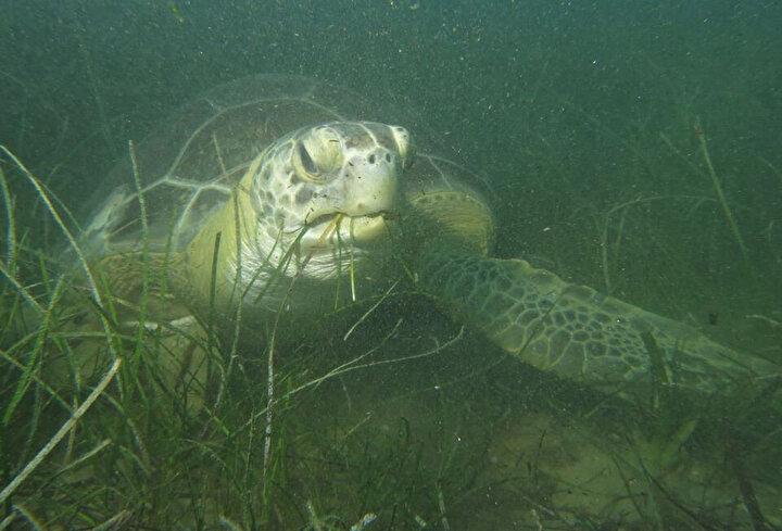 Sürücü, kaplumbağaların Kşadasını beslenme alanı larak belirlediklerini tahmin ettiklerini belirterek, Genellikle etçil olan Caretta caretta iribaş deniz kaplumbağalarıyla karıştırılan otçul Yeşil deniz kaplumbağalarının özellikle jüvenil olanları, adını deniz tanrısı Poseidondan alan Posidonia oceanica türü deniz çayırları/erişteleriyle beslenirler. Deniz erişteleri açısından çok zengin alanlara sahip olan Kuşadası körfezindeki ölen kaplumbağalara bakıldığında, Chelonia mydas türlerinin genelde jüvenil oldukları tespit edilmiştir.
