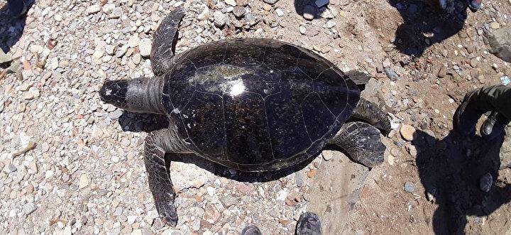 Bugüne kadarki en büyük boyutta erkek yeşil deniz kaplumbağası karaya vurmuş halde bulundu.