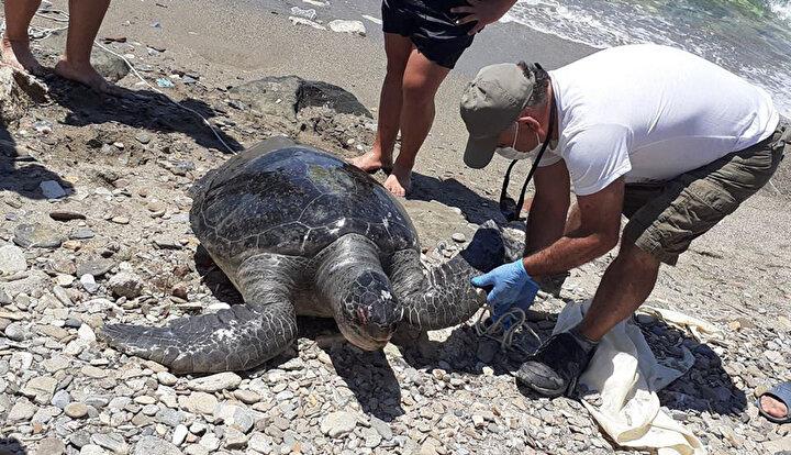 Aynı saatlerde gelen 2nci ihbarda da Sevgi Plajı sahillerinde yetişkin olmayan bir yeşil deniz kaplumbağasının ölü olarak kıyıya vurduğu tespit edildi. Her iki kaplumbağanın ölçümleri yapıldı.