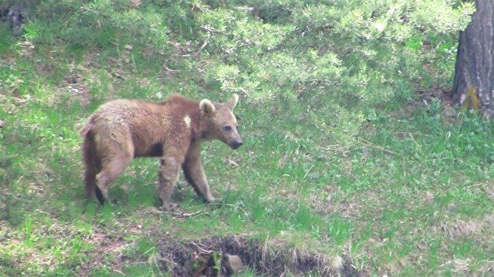 Prof. Dr. Şekercioğlu ve ekibi, uydu vericileri ile takip ettikleri ayıların Sarıkamıştan Artvin Şavşata göç ettiklerini belirledi.