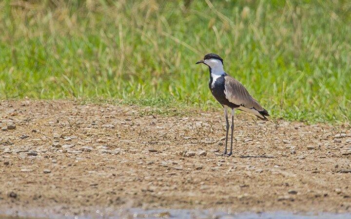 Dicle Vadisinde avlanmaları yasak olan koruma altındaki mahmuzlu kız kuşu görüldü.