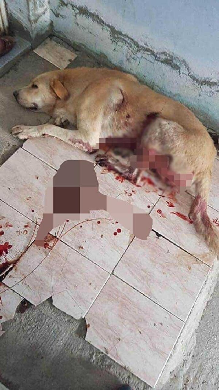 Saldırgan bu kez kaçarken, aile sabah uyandıklarında köpeklerini kanlar içerisinde buldu. Hatay Büyükşehir Belediyesi Hayvan Barınağına götürülen Goldi, veteriner hekim tarafından alındığı ameliyatta, bıçak darbelerinin akciğere verdiği hasar nedeniyle hayatını kaybetti.