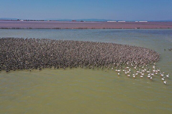 Allı turna olarak da bilinen flamingoların Türkiyedeki iki üreme sahasından Gediz deltasındaki İzmir Kuş Cennetinde 2012de oluşturulan 6,5 dönümlük yapay kuluçka adasında bu yıl 30 ila 32 günlük kuluçka süresini tamamlayan 18 bin civarında yavru, hayata Merhaba dedi.