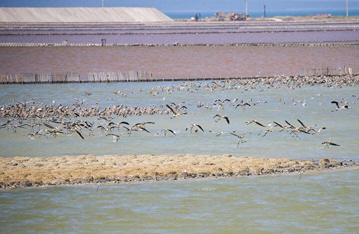 Yavrular çok yakın bir zamanda uçmayı öğrenip çevreye dağılacaklar. Flamingoların düzenli bir göç sistemi yok. Bazıları yaz kış burada. Bir kısmı Tuz Gölüne gidip geliyor ama bir kısmı da bütün Akdeniz havzasını gezip gelebiliyor.