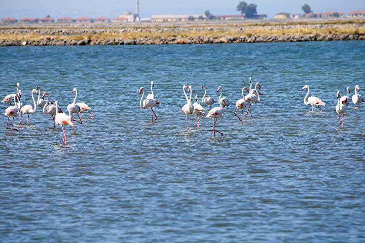 Kreşteki flamingo yavruları rüzgara karşı kanat çırpmaya başladı
