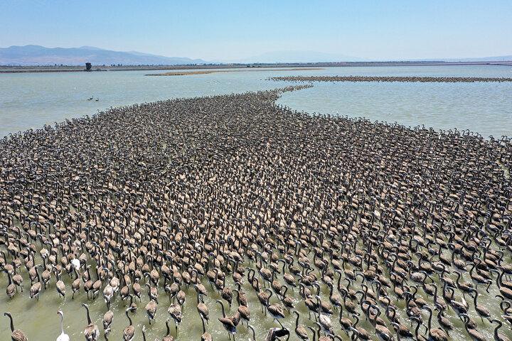 Oluşturulan yapay ada ile flamingoların daha sağlıklı bir yumurtlama dönemi geçirdiğini dile getiren Aslanapa, şunları söyledi:Bu yıl da yaklaşık 18 bin yavru dünyaya geldi. Flamingolar nisan ayının ilk yarısında adada kuluçkaya yatmaya başladılar. Mayıs ayının ilk yarısında da ilk flamingo yavruları yumurtadan çıkmaya başladı. Şu anda yaklaşık iki aylık olan flamingo yavruları adanın yanında suya inmiş durumda. Ana babaları tarafından beslenmekte ve aynı zamanda uçma denemelerine de başlamış durumdalar...
