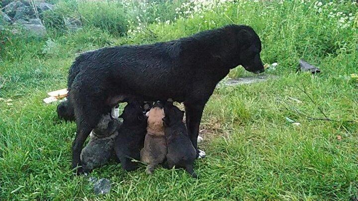 Biz de ayıların geldiğini Cesurdan anlıyoruz çünkü çok fazla havlıyor ve onların gelmesine izin vermiyor. Cesurun 6 yavrusu var ve çok iyi bir köpek. Biz ellerimizle besleyip ihtiyaçlarını karşılıyoruz, o da bizi koruyor.