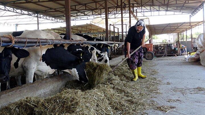 Dönmez, 15 yılda gözü gibi baktığı 5 inekten ürettiği dişi sığırları satmayıp çoğalttı. Hayvancılığa başladığı ineklerin torunları olan ve şu anda 40ı süt ineği olmak üzere 100 büyükbaş hayvanı oldu. Hayvanları çok seven Duru Dönmez, onları Ayşe, Duygu, Selin, Narin, Elif ve benzeri isimleriyle çağırarak gözü gibi, bakıyor. Sütü de kendi sağıp, traktör de kullanan Dönmez, günlük ortama 700 ton süt üretiyor.